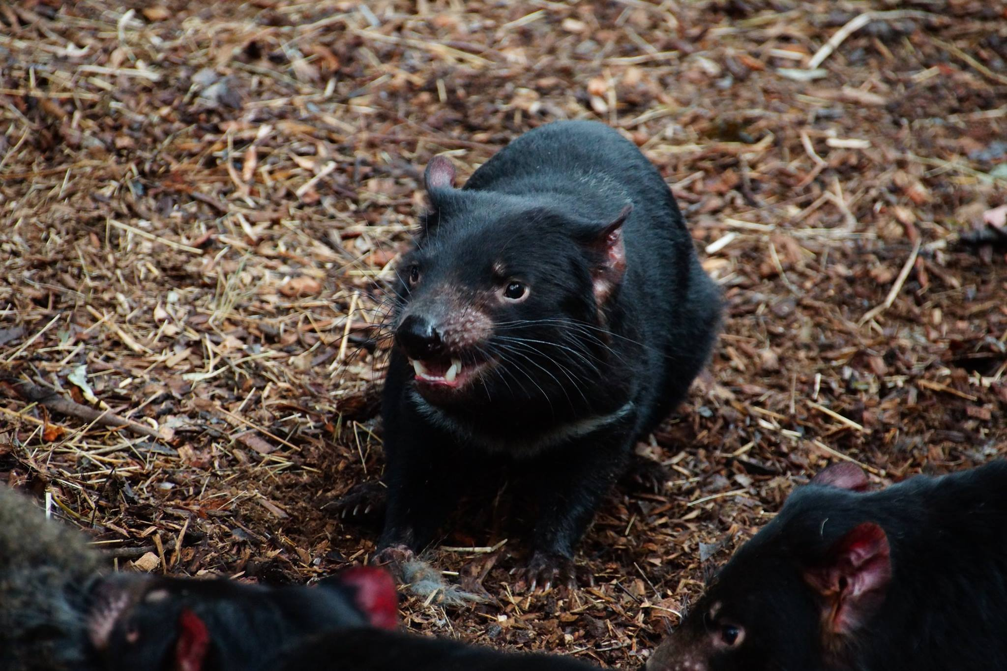 Tasmanian Devil feeding at bonorong