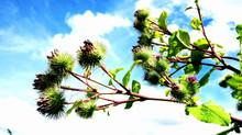 Secrets d'herboristerie: La  bardane