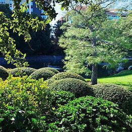 Ilex Vomitoria 'Nana'.  Drought tolerant, slow growing, dark green, fine textured shrub. Inconspicuous white flowers. Easily sheared to create karikomi and tamamono shapes in the Garden.
