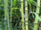 Bamboo WS.jpg