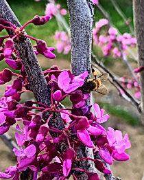 Cercis, multiple species. Single or multi trunk small tree that blooms end of February into March. Pink/purple flowers blossom before leaves emerge. Shade tolerant, graceful and elegant. Reminiscent of plum blossoms.