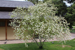 Bauhinia Lunarioides.  White flowering, small leaved large shrub or small tree. Flowers March through April.  Reminiscent of Cherry Blossoms.