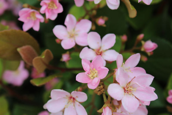 Rhaphiolepis Indica, multiple species. Small to medium, pink or white flowering shrub adaptable to sun or shade. A substitute for Japanese Azalea.