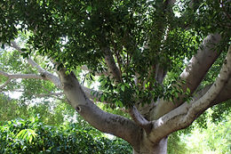 Ficus Benjamina. Large growing, desert adapted tree. Creates the forest-like setting in the mountain region. Also the iconic tree located next to the tea house.