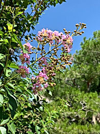 """Lagerstroemia. Disidious, evergreen tree or shrub.   Red, pink or white blooms that blossom all summer long.   Called Monkey Slip (saru suberi- 猿滑) which refers to its sleek bark or 百日紅 """"red for one hundred days"""" because of the length of it's blooming season."""