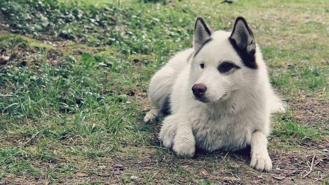 Ice, Husky