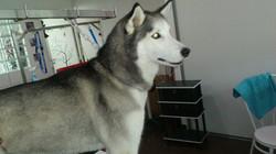 Lila, Husky