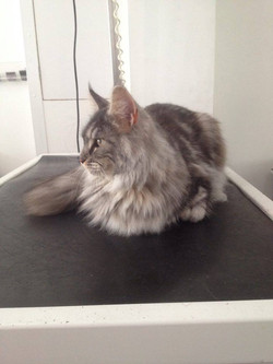 Lily, Main Coon