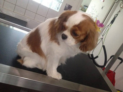 Ivoire, Cavalier King Charles