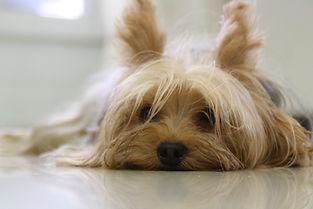 Très beau yorkshire terrier