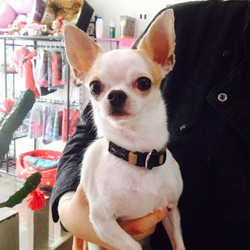 Joe, Chihuahua