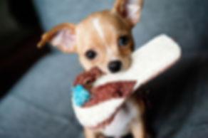 Un chiot chihuahua et son jouet tong