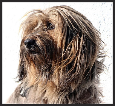 Un Terrier du Tibet en plein brushing