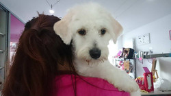 Flash,Bichon Maltais