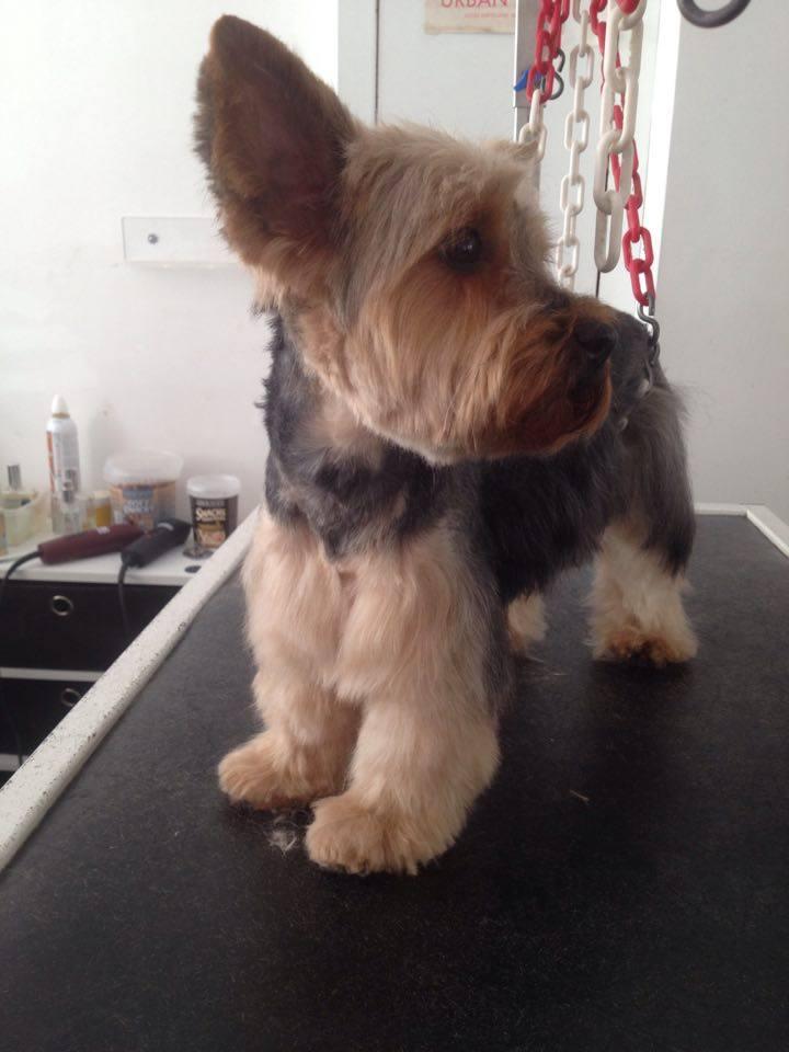 Hellia, Yorkshire Terrier