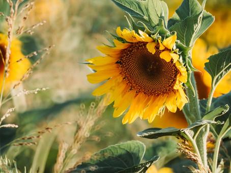 Sunflowers & Dry Skin