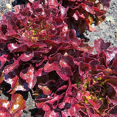 Baby Red Lettuce