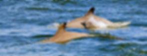 Dolphin Web.jpg