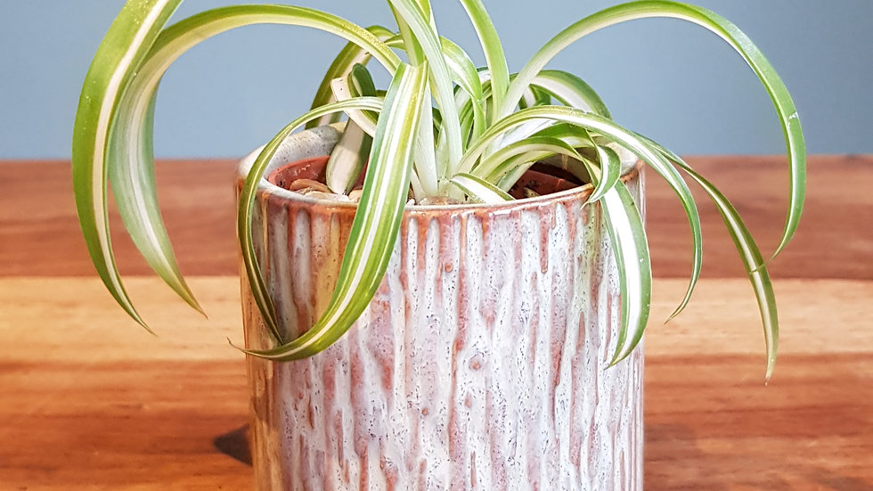 Mini Chlorophytum Bonnie 'Curly Spider' in a ceramic pot with handmade care card