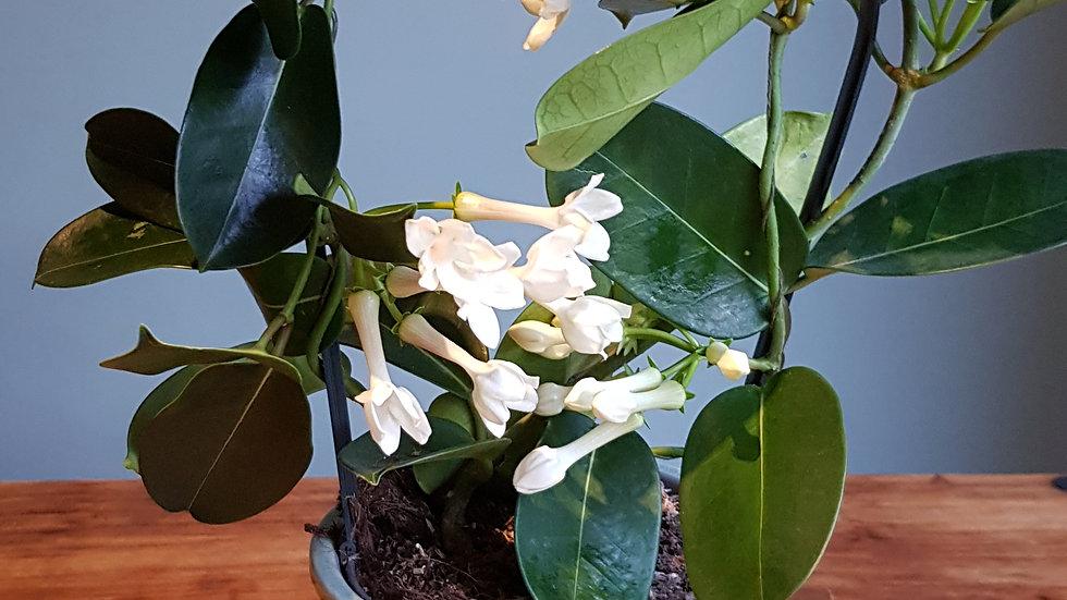 Stephanotis floribunda 'Madagascan Jasmine' ceramic pot with handmade care label