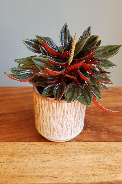 Peperomia Caperata Rosso in a ceramic pot with handmade care label