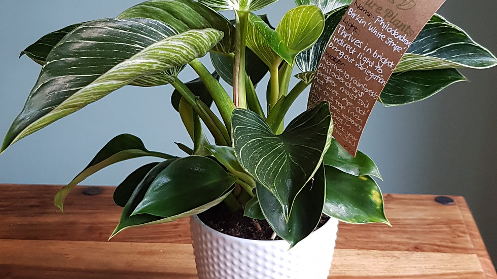 Philodendron Birkin 'White Wave' in ceramic pot with handmade care label