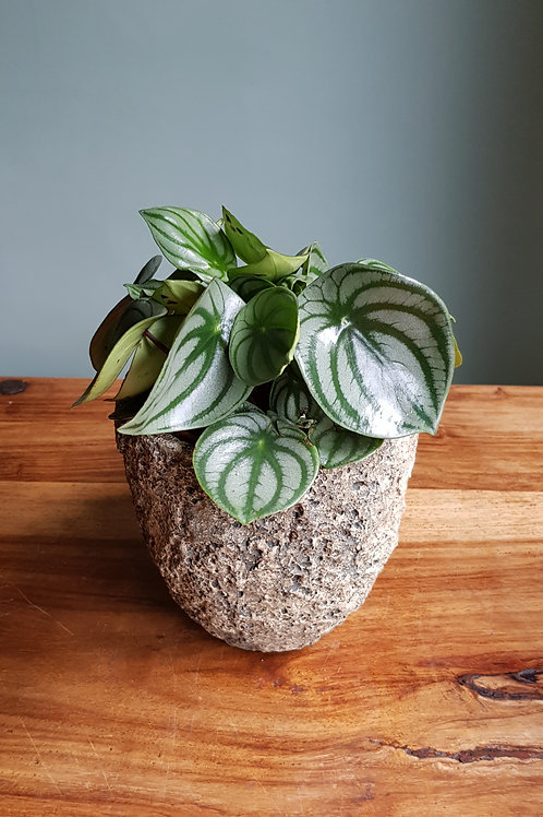 Peperomia argyreia 'Watermelon' in your choice of pot with handmade care label
