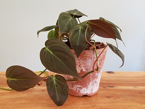 Philodendron 'Micans' in a ceramic pot with handmade