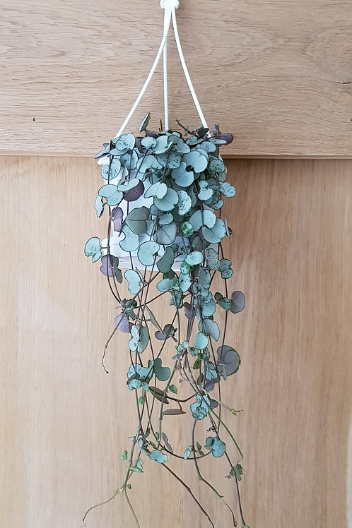 Ceropegia woodii with your choice of pot and a detailed care card