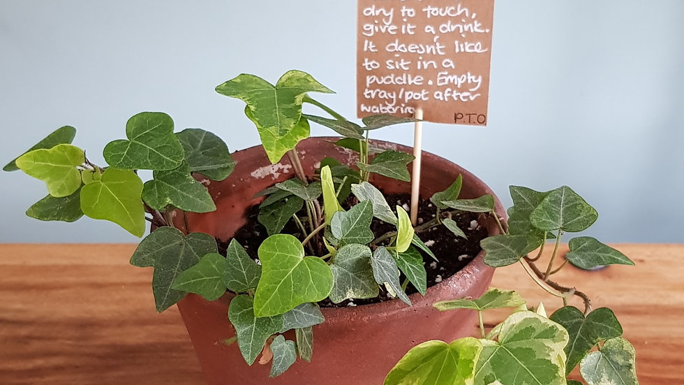 Hedera Helix 'English Ivy' in a terracotta pot with handmade care label