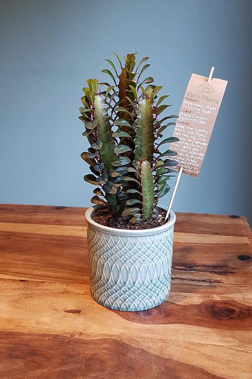 Euphorbia trigona rubra 'African milk tree'