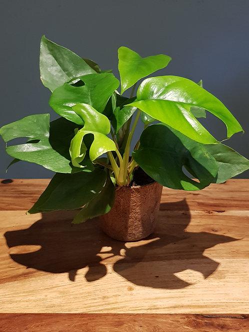 Philodendron minima 'Mini Monstera' in coco pot with handmade care label