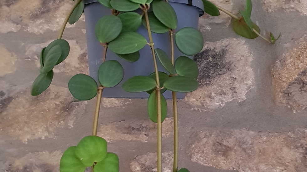 Large Peperomia Hope 'Trailing Jade' 25cm plant