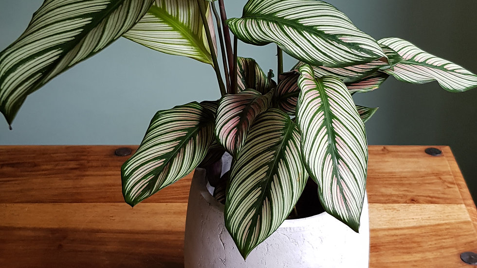Calathea 'White Star' comes in ceramic pot with handmade care