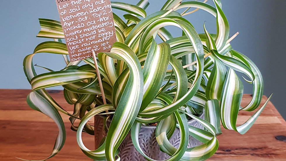 Chlorophytum Bonnie 'Curly Spider Plant' in a ceramic pot with handmade ca