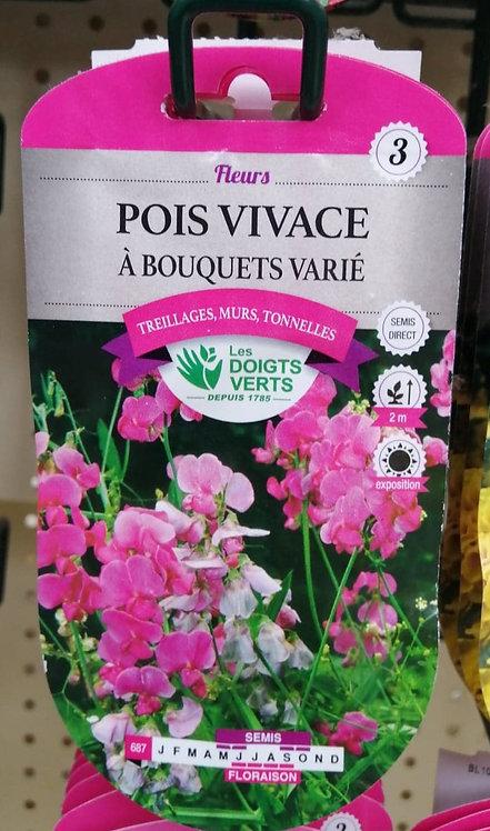 Pois vivace à bouquets varié n°3