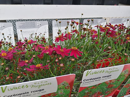 coreopsis rouge.jpg