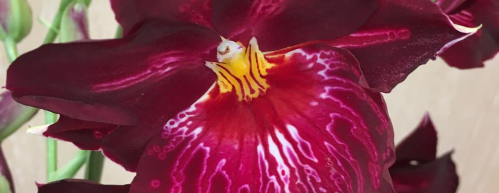 Orchidée Miltonia