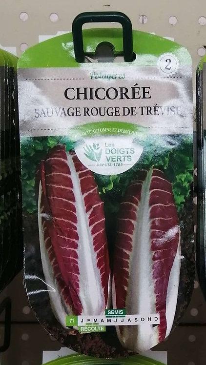 Chicorée sauvage rouge de Trévise n°2
