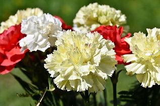 oeillet fleuriste.jpg
