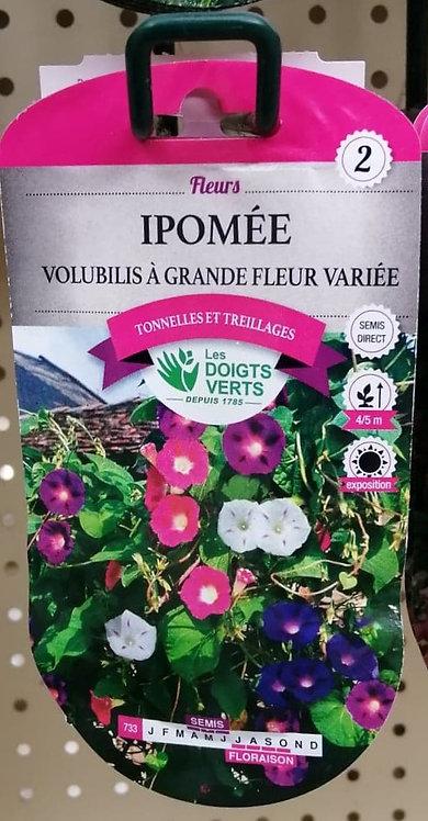 Ipomée volubilis à grande fleur variée n°2
