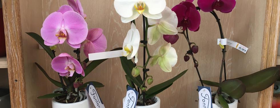 Orchidée Fontano