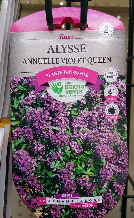 Alysse annuelle violet queen n°2