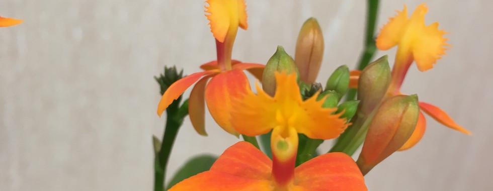 Orchidée Epidendrum