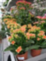 Kalanchoé_mini_jaune_coeur_orange.jpg