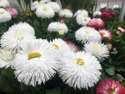 paquerette fleur blanche