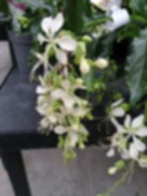 Clerodendrum fleur.jpg
