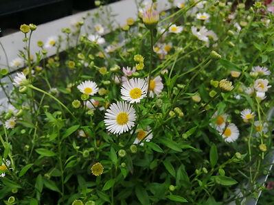 coreopsis blanc.jpg