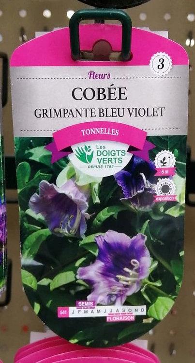 Cobée grimpante bleu violet n°3