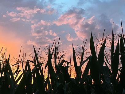 Sunset over cornfield, Richlands, Onslow
